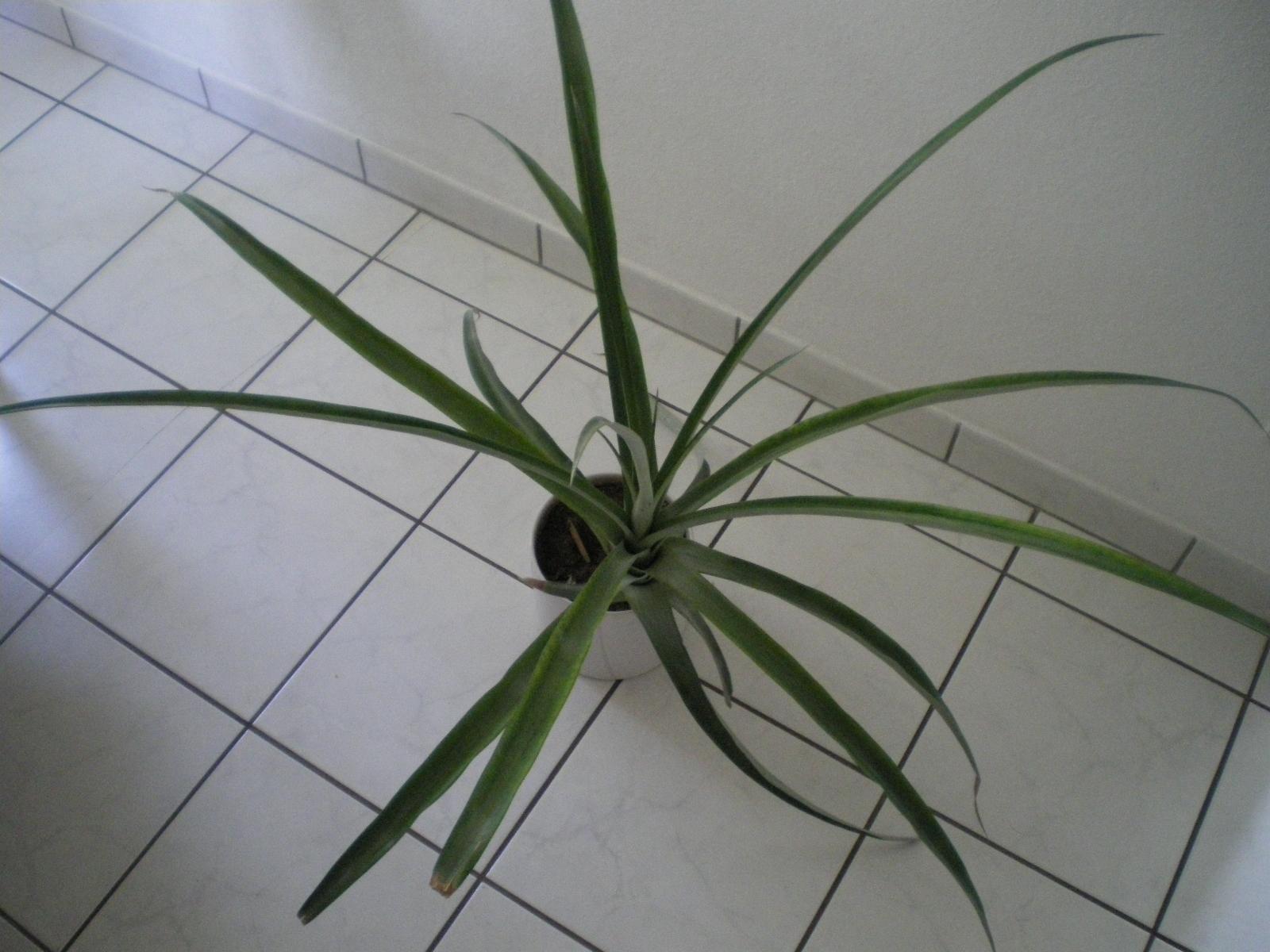 ananas anzucht und pflegeanleitungen exotischer pflanzen vermehrung wachsen z chten. Black Bedroom Furniture Sets. Home Design Ideas