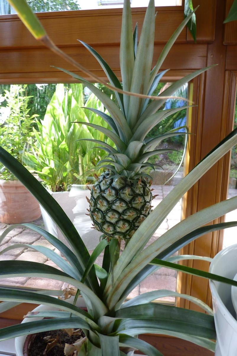 ananas anzucht und pflegeanleitungen exotischer pflanzen. Black Bedroom Furniture Sets. Home Design Ideas