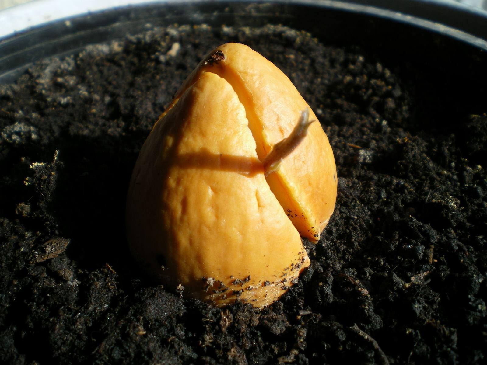 avocado anzucht und pflegeanleitungen exotischer pflanzen vermehrung wachsen z chten. Black Bedroom Furniture Sets. Home Design Ideas