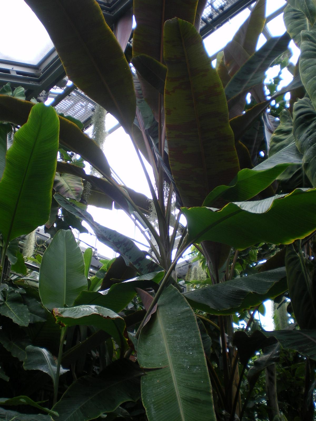 Bananenscheinstämme Bananenblatt Banane