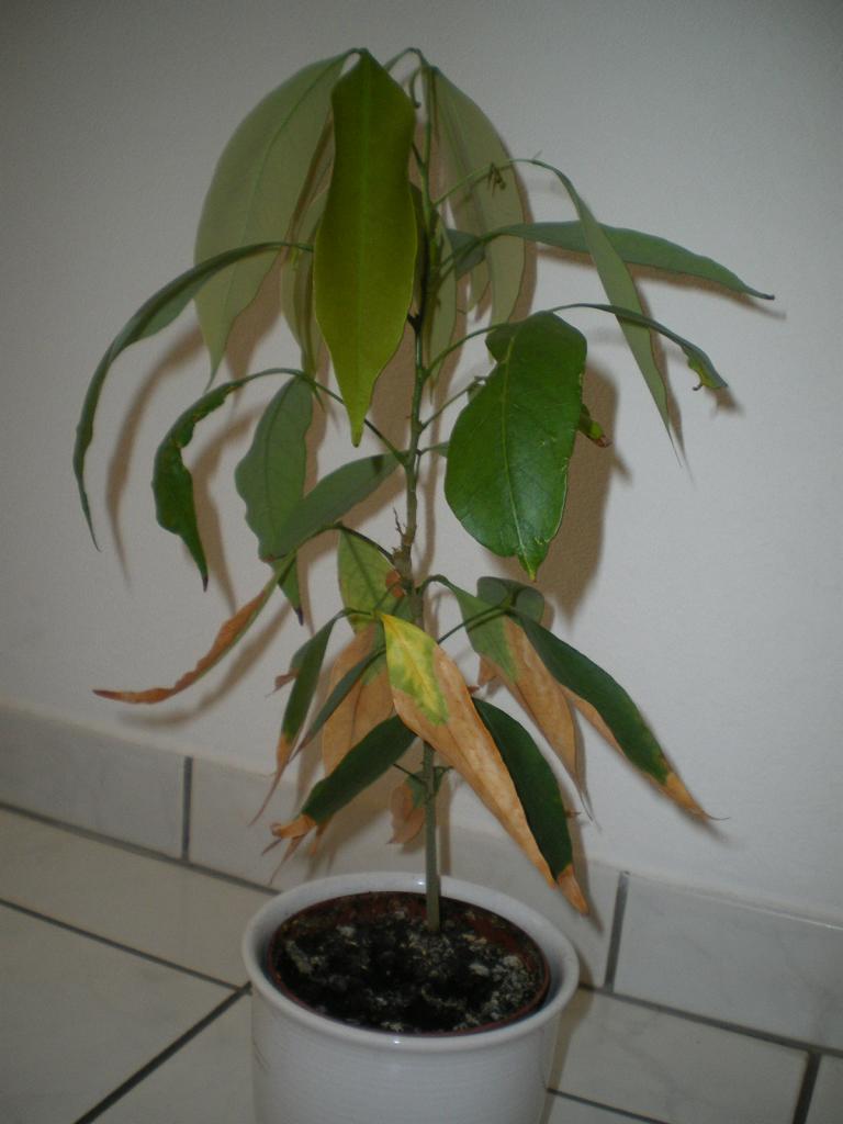 litchi anzucht und pflegeanleitungen exotischer pflanzen vermehrung wachsen z chten. Black Bedroom Furniture Sets. Home Design Ideas