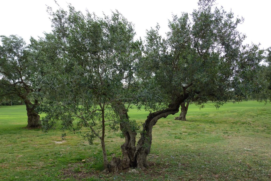 olive anzucht und pflegeanleitungen exotischer pflanzen vermehrung wachsen z chten. Black Bedroom Furniture Sets. Home Design Ideas